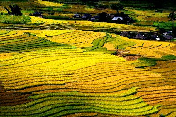 Mùa thu lúa chín vàng trên cao nguyên Mộc Châu
